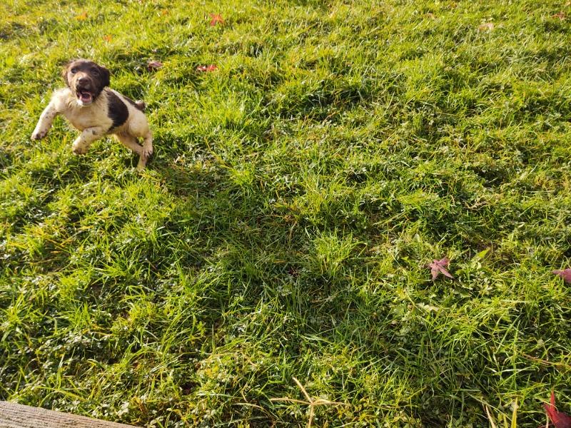 cuccioli springer